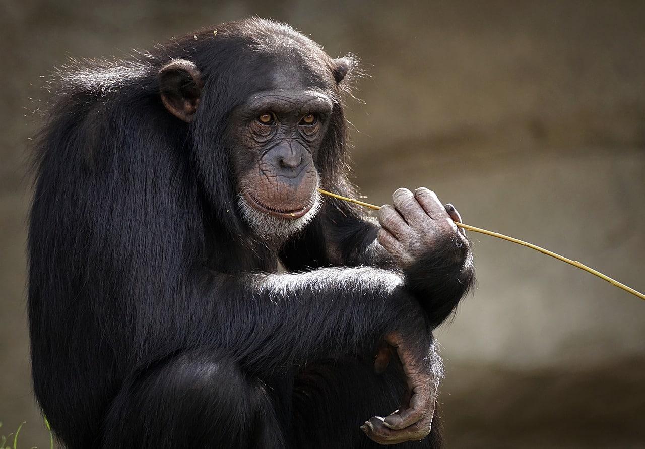 a chimpanzee eating straw