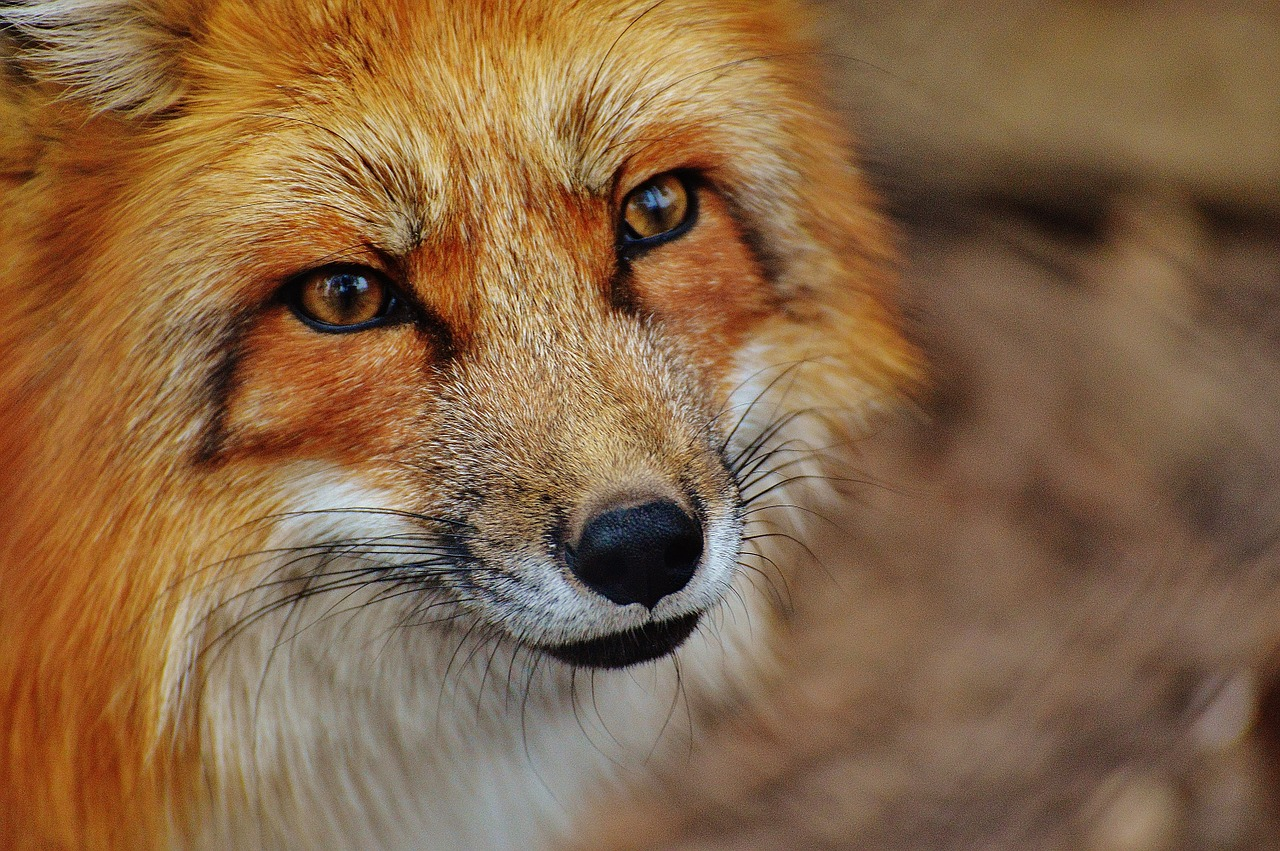 A fox looking into the camera